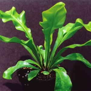 A picture of a potted Bird's Nest Fern against a black background.