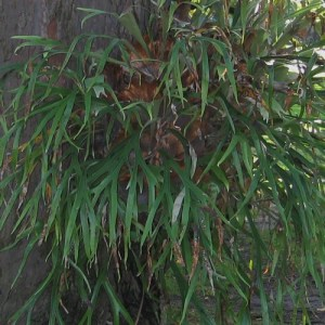 A large staghorn fern in a hanging basket.
