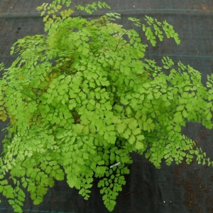 Fragrant Maidenhair growing in a pot in a greenhouse.