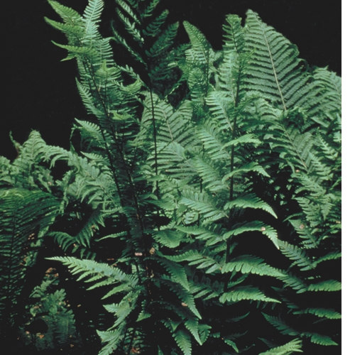 Dixie Wood Fern detailed image
