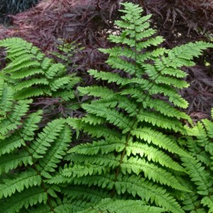 Remote Wood Fern