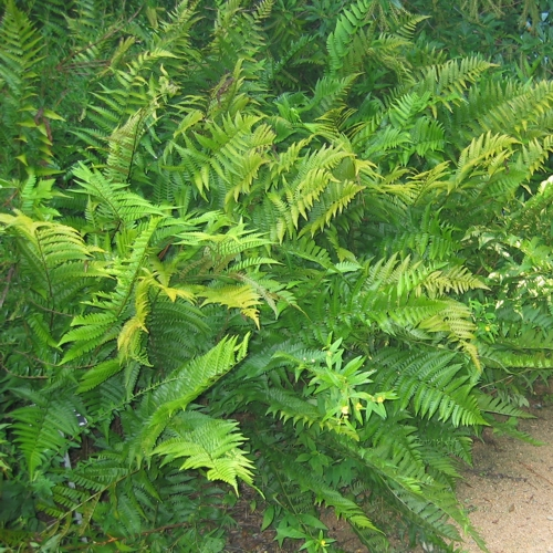 Southern Shield Fern growing in a landscaped walkway.