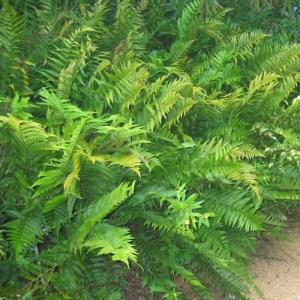 Southern Shield Fern growing in a landscaped walkway.