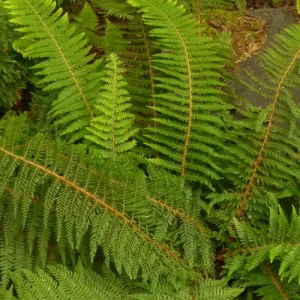 Alaskan Soft Shield Holly Fern