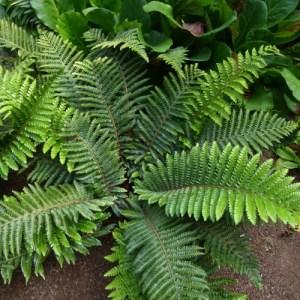 Tassel Fern growing in a shade garden.