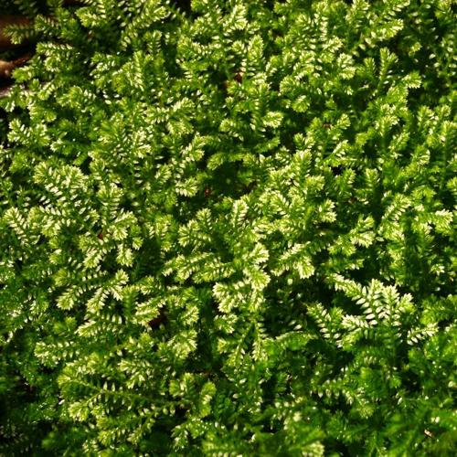 Krauss' Green Spikemoss