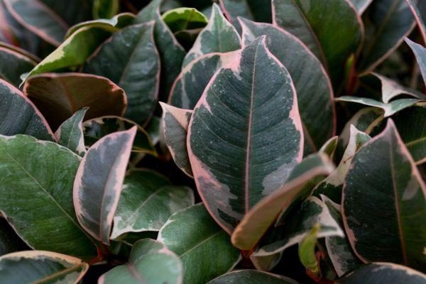 Ficus Ruby