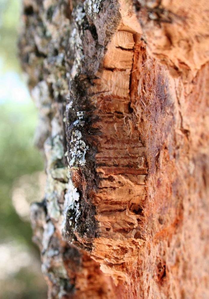 Ecorce tronc chêne liege Portugal écorçage CO2 durable
