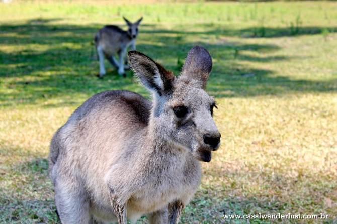 morisset-park-kangoroo