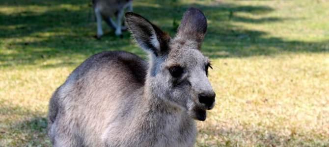 Dica de viagem: Morisset Park, o parque dos cangurus em Sydney