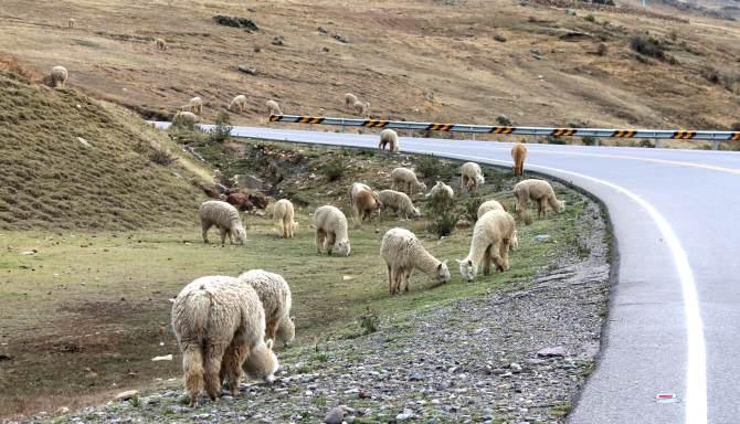 lhamas-estrada-cusco