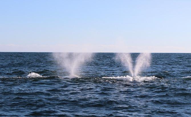Como ver baleias em Hermanus