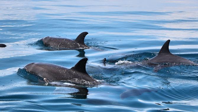 Golfinhos em Mombaça