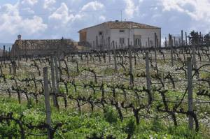 Ragusa_vineyard
