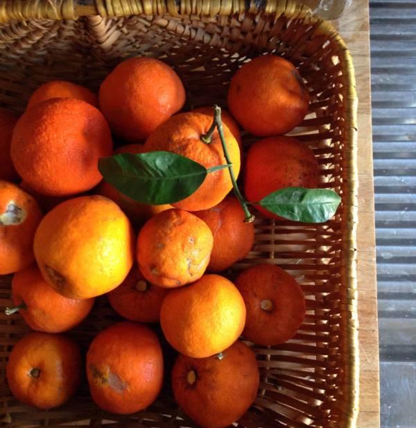 Seville oranges foraged in Rome
