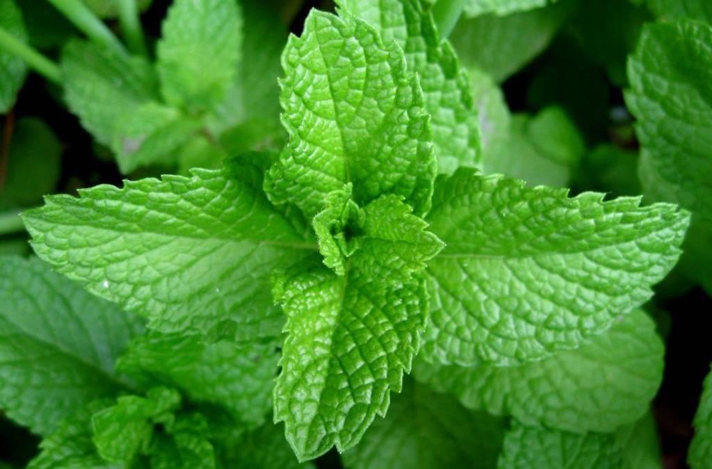 The Herb Garden: Mint