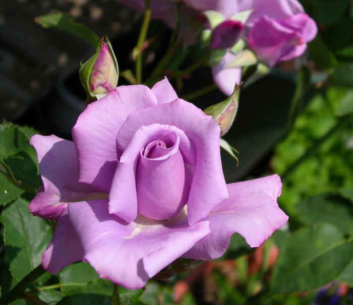rosal Blue Moon