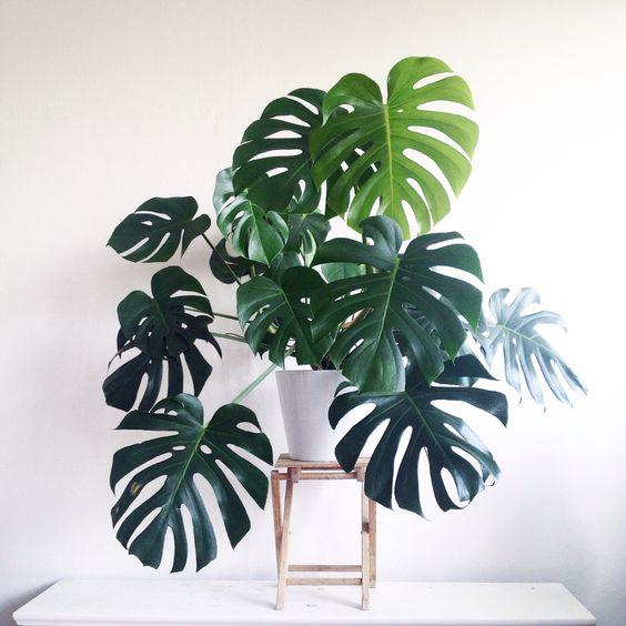 Decorar con plantas de f cil cultivo costilla de ad n - Plantas de decoracion ...