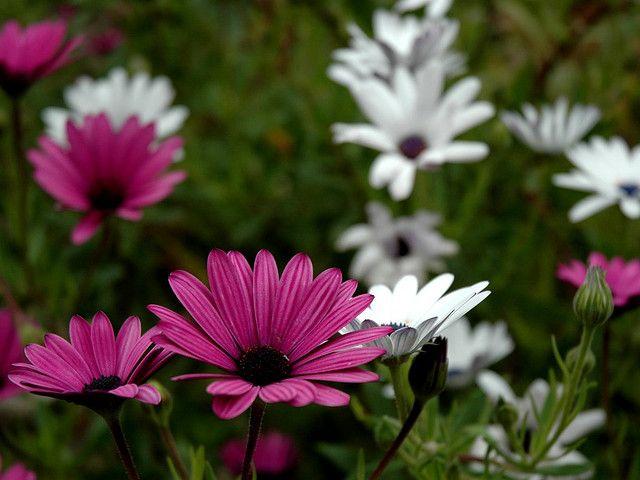 Flores para Decoración de Jardines, Dimorphoteca