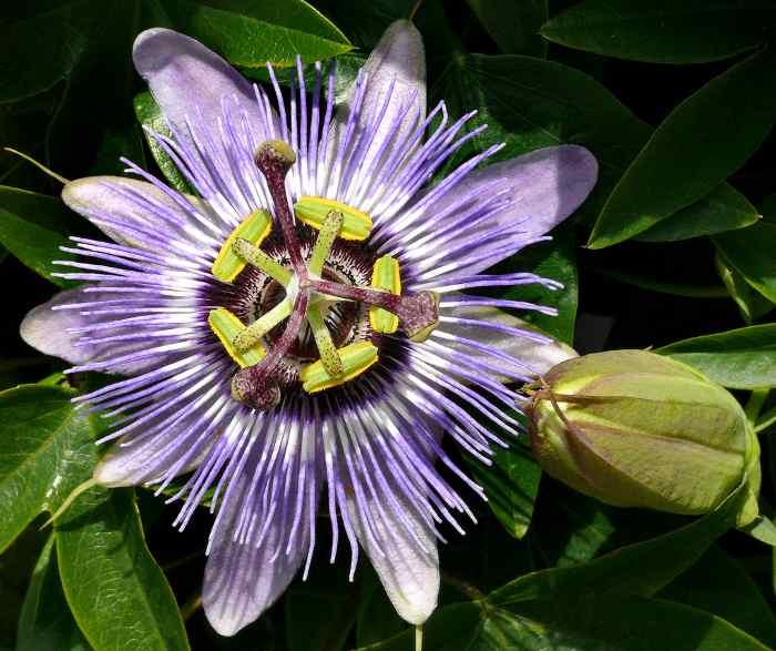 pasionaria-flor-de-la-pasion-5