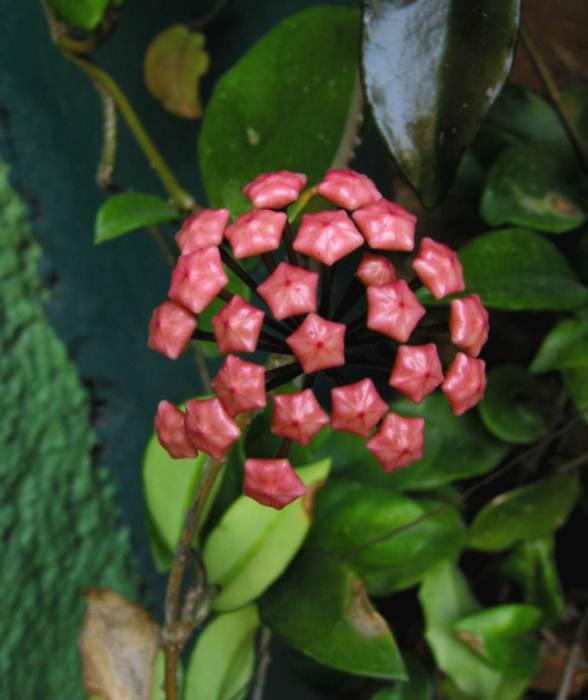 pimpollo de flor de cera