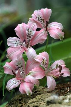 Plantas Con Flores Lirio De Campo