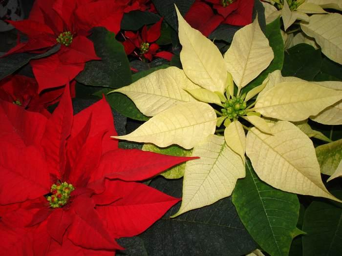 plantas-para-navidad-poinsettia-4