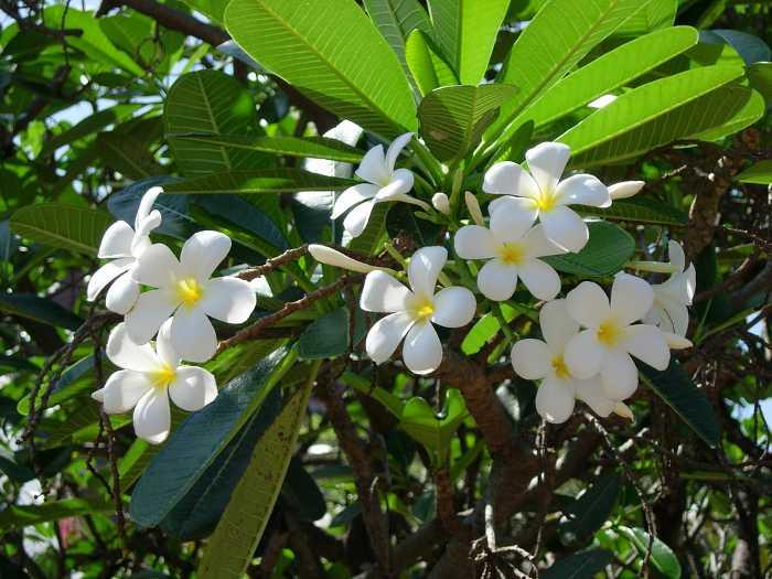 plumeria-frangipani-4