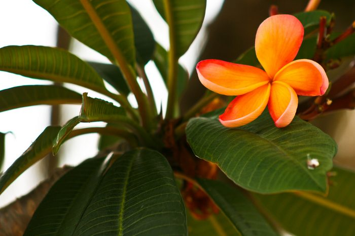 plumeria-frangipani-8