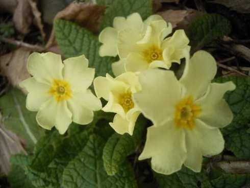 plantas faciles de cuidar: primula-vulgaris flowers