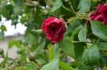 Rosa patones