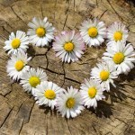 daisy heart on log background-712892_1920