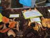 Chanterelle_Look_Alikes