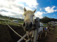 Captured with the GoPro, this horse would do a lap around its pen, returning back to the rail to see if anyone had brought a treat. Usually a child with a carrot or grass wasn't far away.