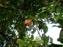 A pomegranate tree. We may or may not have snagged one of these.