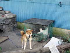 This cute Akita—Mimi—was hard at work protecting his chicken buddy.