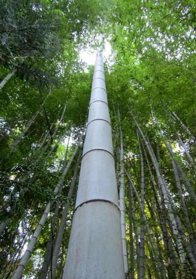 We walked through a beautiful and mature bamboo forests. Even in Kyoto we'd never seen bamboo this big.