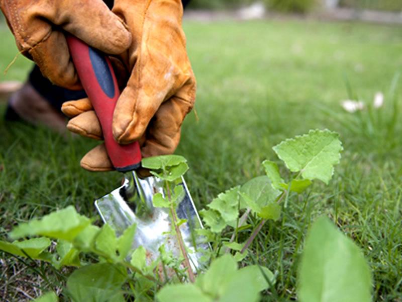 Pragas e ervas daninha em gramas - Cascalheira Garden - Jardinagem e Paisagismo Camaçari