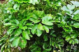 Arvore-da-Felicidada---Plantas-Ornamentais---Cascalheira-Garden---Paisagismo-e-Jardinagem - Cascalheira Garden - Jardinagem e Paisagismo Camaçari