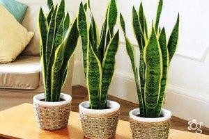 Espada-de-sao-jorge---Plantas-Ornamentais---Cascalheira-Garden---Paisagismo-e-Jardinagem - Cascalheira Garden - Jardinagem e Paisagismo Camaçari