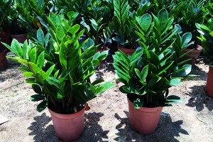 Zamioculcas---Plantas-Ornamentais---Cascalheira-Garden---Paisagismo-e-Jardinagem - Cascalheira Garden - Jardinagem e Paisagismo Camaçari