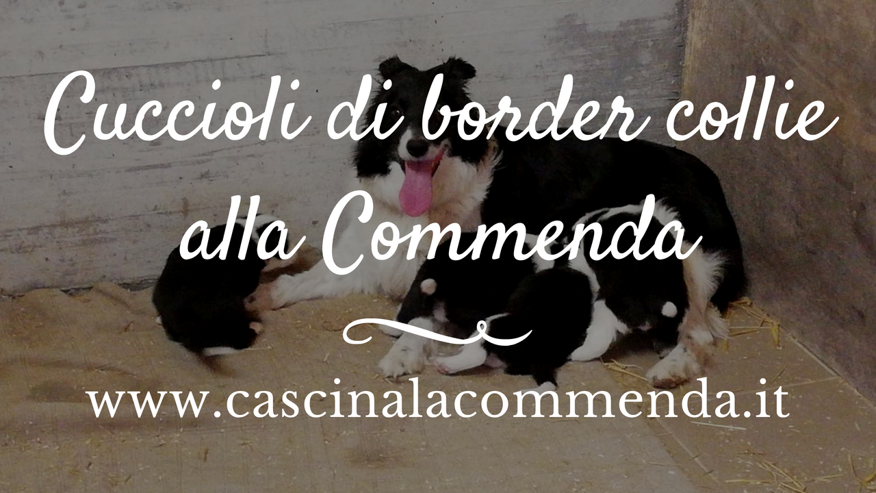 COMMENDA blog cani cuccioli border collie