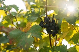 Degustazione Vini e prodotti tipici grappolo uva barbaresco per vini