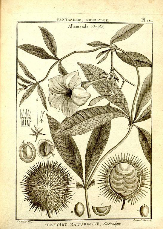 Botany, Allamanda tree