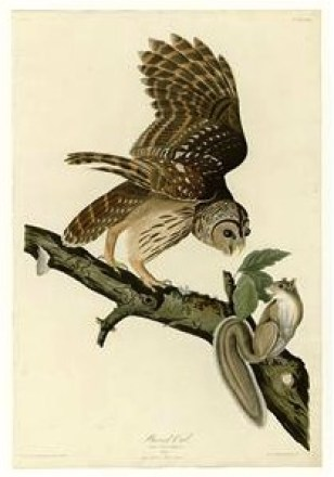 Barred Owl, by Audubon