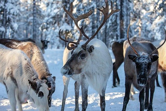 Reindeer, Kanin Peninsula