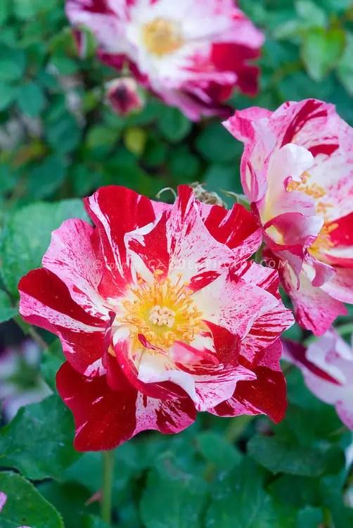 Cele mai neobisnuite soiuri de trandafiri in gradina