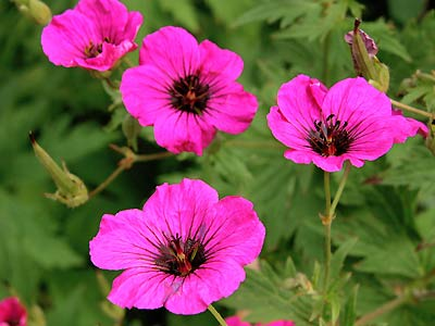 Plante care alunga tantarii din casai