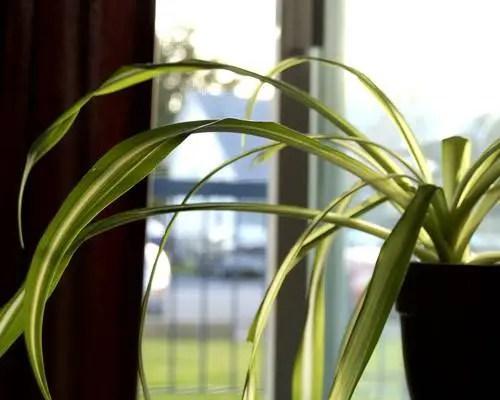 Plante care purifica aerul din camera la oras