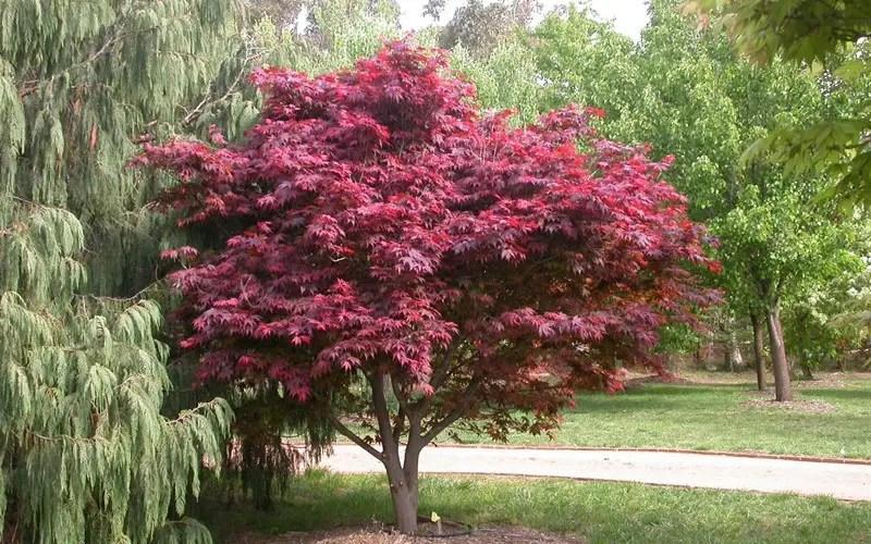 Arbori ornamentali cu frunze rosii o explozie de culoare for Great small trees